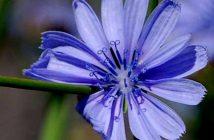 cicoria, fiore